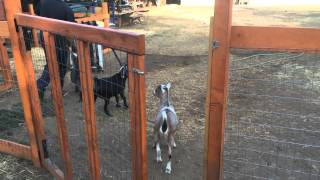 Backyard Chickens and Goats. A tour of our farm.