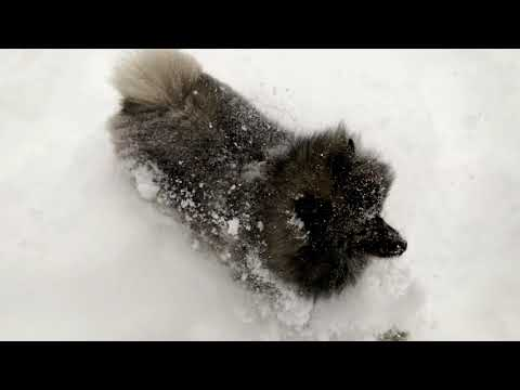 Friend's Keeshond jumping in the snow for the first time