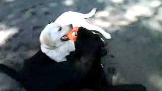 щенок    лабрадор а    маленький  Маркушка  4 месяца