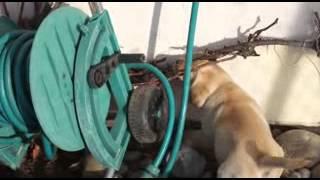 E-wurf Von Happy Black Foot Labrador Retriever Zucht