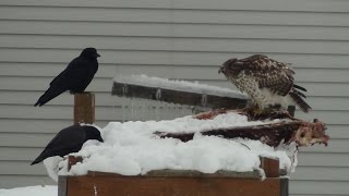Hawk, crows feasting on deer carcass  Squirrel defends territory Thumbnail