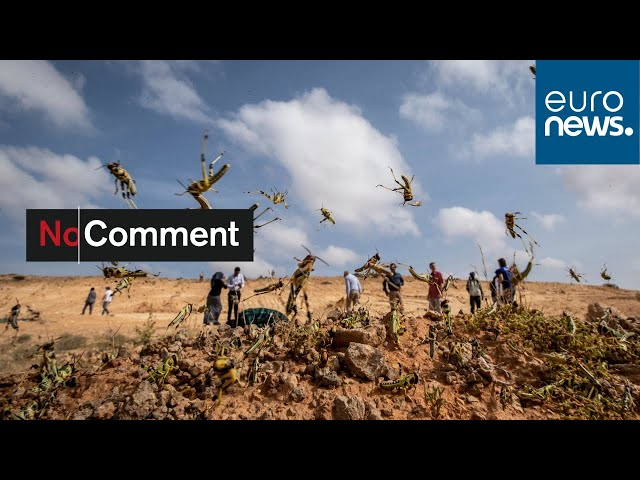 Desert locusts wreak havoc in Uganda in worst infestation in 70 years