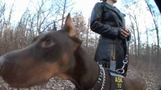 Zeus! The Red Doberman!      ..his First Debut On Youtube! (hd)