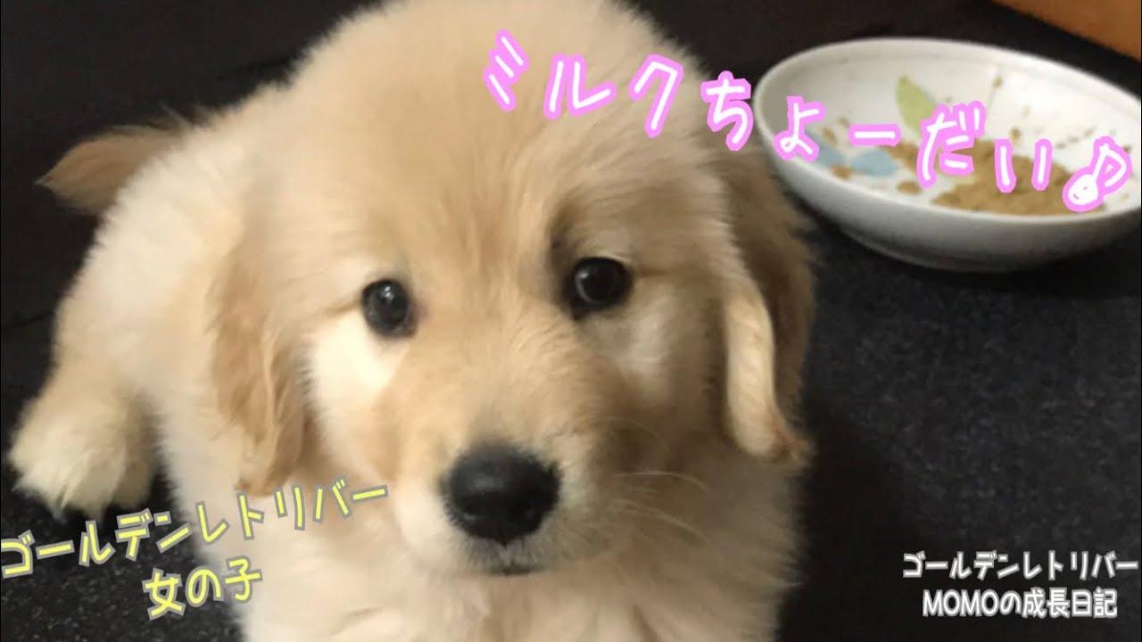 赤ちゃん ゴールデン レトリバー ゴールデン・レトリーバーの特徴と性格・飼い方・価格相場など 犬図鑑 いぬのきもちWEB MAGAZINE