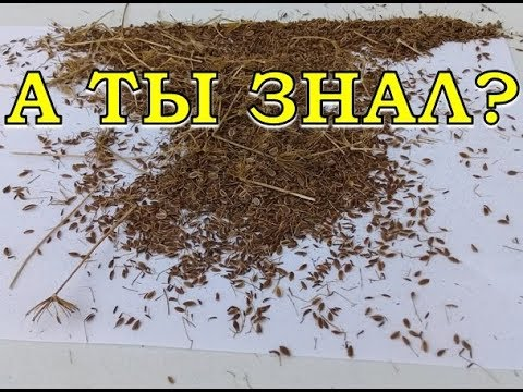 Как очистить семена укропа от мусора