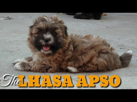 this-valentine-gift-this-memorable-power-packed-alert-security-to-those-you-care:-the-lhasa-apso-pup