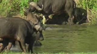 Croc VS Young Buffalo in Kruger Park