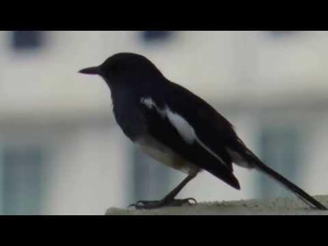 Oriental Magpie Robin singing funny song !!!