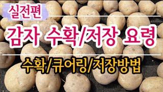 하지감자 수확시기/수확방법/저장방법(#감자수확시기,#감…