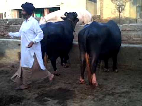 Image result for punjab buffalo