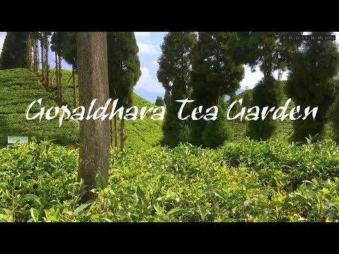 Gopaldhara Tea Garden   Darjeeling Tea Garden   Darjeeling Tour   Gopaldhara Tea Estate