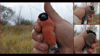 Ловля певчих птиц 2020 Ловля снегирей в дождливую погоду И немножко грибов