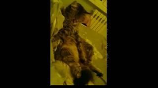ПРИКОЛ!!! Колыбельная для кошки. Funny