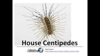 Flea Control Pest House Centipedes