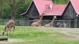 Żyrafy, Zebry, Jaki, Hipopotamy - Zoo