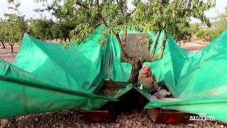 #11 Cosecha de Almendra / Almond Harvest