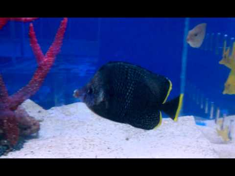 Wrought Iron Butterflyfish At Blue Reef Aquatics