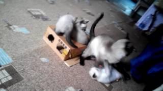 Тайские,старо-сиамские  котята