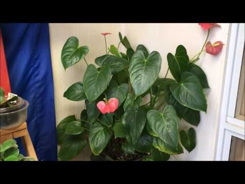 Anthurium Cuttings Rooting In Water