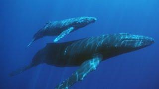Самое большое существо на Земле - Синий кит. Самое большое млекопитающее.
