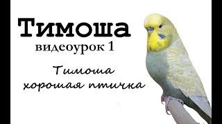 """🎤 Учим попугая по имени Тимоша говорить, видеоурок 1: """"Тимоша хорошая птичка"""""""
