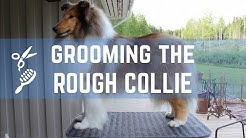 Grooming the Rough collie - Pitkäkarvaisen collien trimmaus