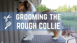 Grooming the Rough collie  Pitkäkarvaisen collien trimmaus