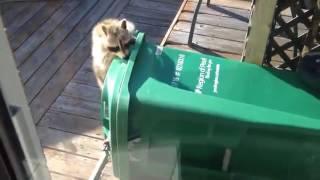 Енот украл мусорный бак  Целиком