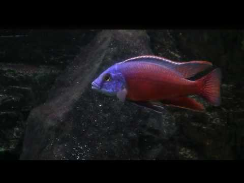 Protomelas taeniolatus boadzulu red фото