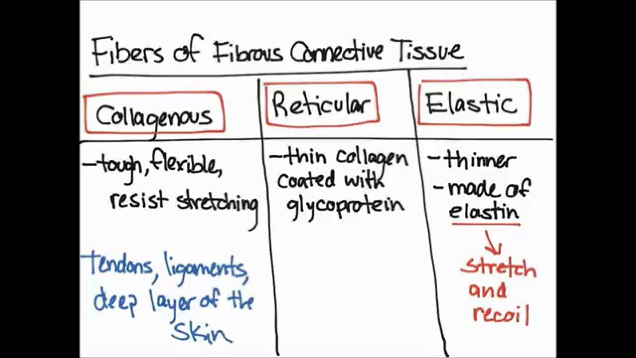 Fibers Of Fibrous Connective Tissue Youtube