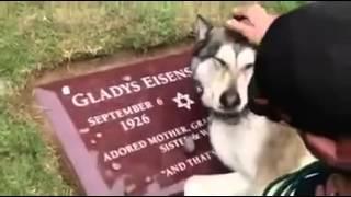 Emocionante ! Cachorro chora no túmulo do dono.