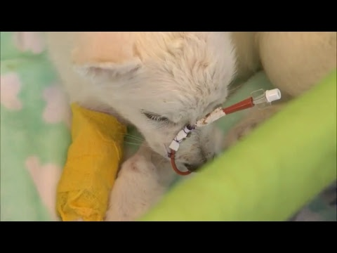 LIVE: Abused husky puppy!County officials providing an update