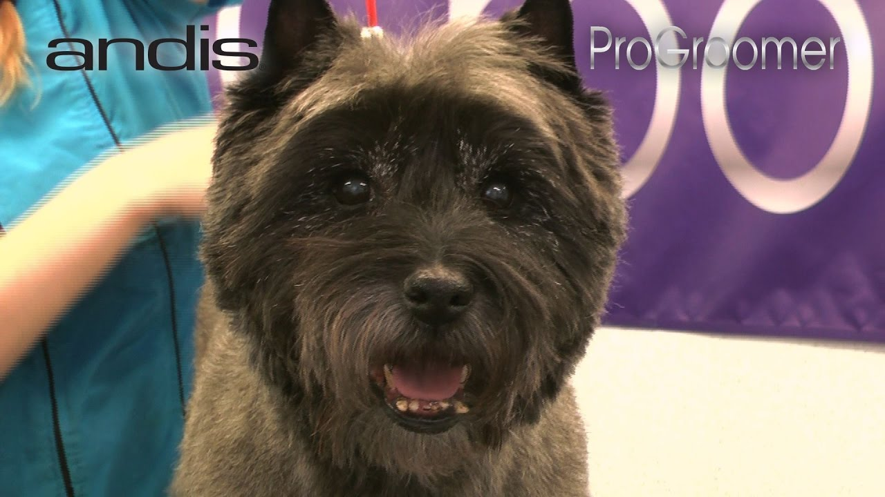 grooming guide - cairn terrier pet trim - pro groomer