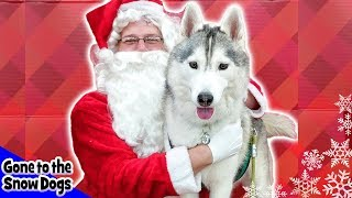 Memphis the Husky Meets Santa | Dog Goes Shopping at Petco | Husky Petco Haul