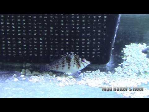Hawkfish (Cirrhitichthy Falco)