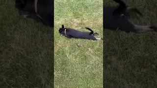[Manchester terrier Mix] I love grass #shorts