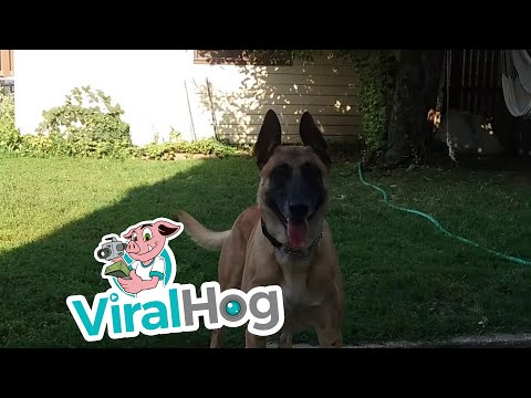 Before You Get a Belgian Malinois || ViralHog