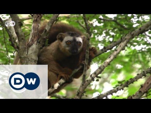 Madagascar's lemurs - cute forest dwellers soon losing their home? | Environment