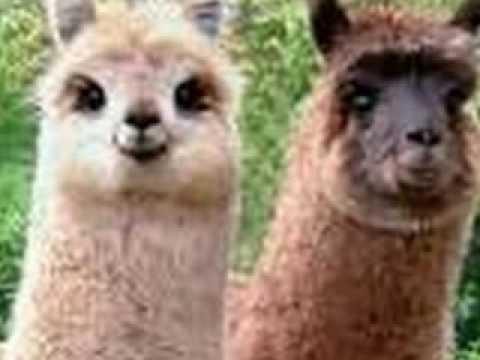 Happy Llama Sad