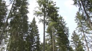 Relax with MAGIC FOREST - 01 CONIFEROUS FOREST (PURERELAX.TV)