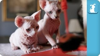 Wrinkly Sphynx and Bambino Kittens Playing With Red Ladybug Toy - Kitten Love
