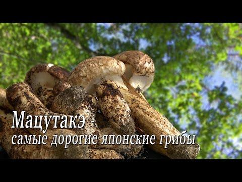 купить мицелий гриба эноки