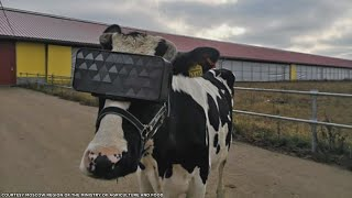 Virtual Reality for Cows?