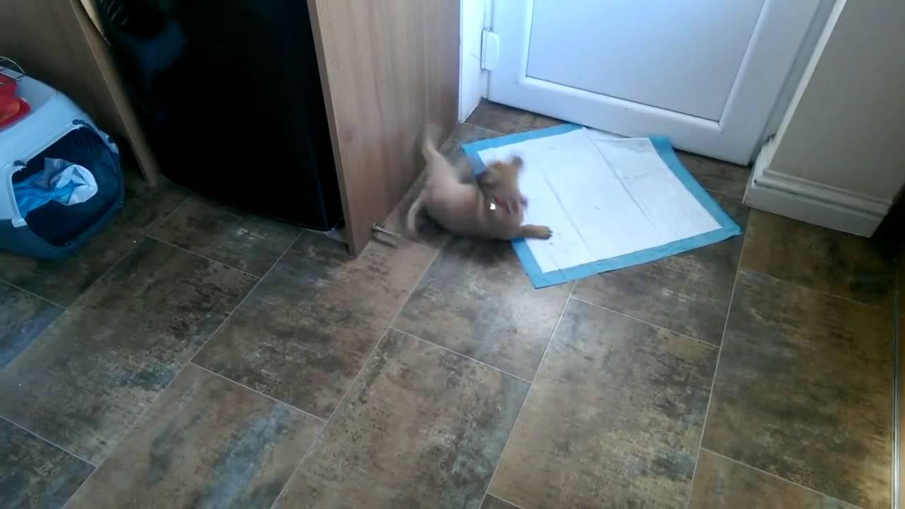 Cute Puppy Has Meltdown After Door Stop Encounter