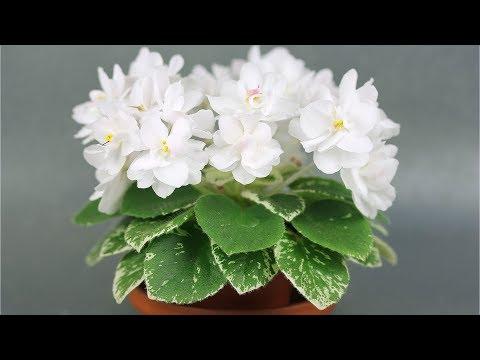 Фиалка с шапкой молочно-белых цветов АВ-Молочные Реки