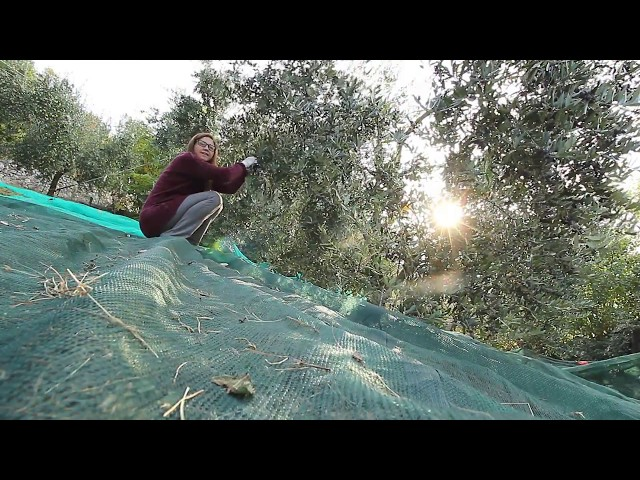 Marone. La raccolta delle olive.