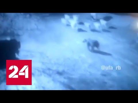Вопрос: Почему медведи и волки нападают на людей?