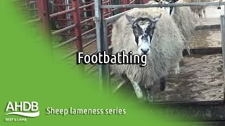 Footbathing - Sheep Lameness series