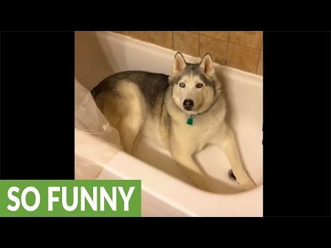 Stubborn Husky gets his wish after throwing temper tantrum