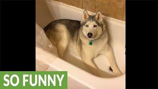 Stubborn Husky gets his wish after throwing temper tantrum